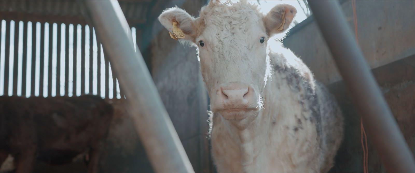 73 Cows by Alex Lockwood   Documentary Short Film
